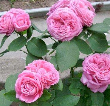 Роза Emotion
