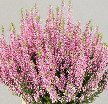 Вереск обыкновенный Pink Bettina