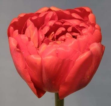 Тюльпан LARGO (Махровые ранние)