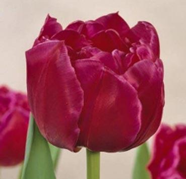 Тюльпан MARGARITA (Махровые ранние)