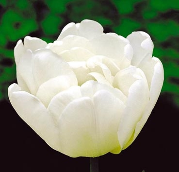 Тюльпан MONDIAL (Махровые)