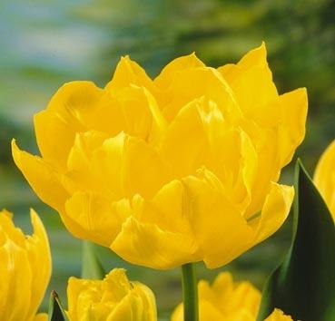 Тюльпан MONTE CARLO (Махровые ранние)