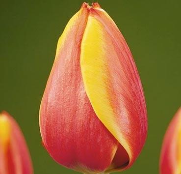 Тюльпан AD REM (Гибриды Дарвина)