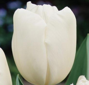 Тюльпан HAKUUN  (Гибриды Дарвина)