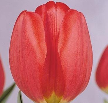 Тюльпан PARADE (Гибриды Дарвина)
