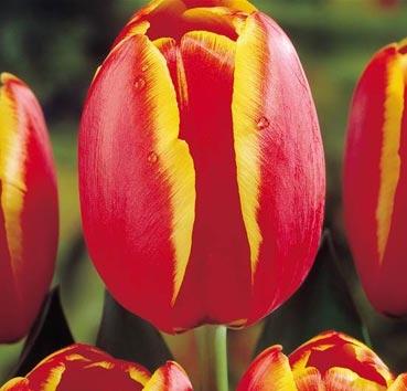 Тюльпан WORLD'S FAVOURITE (Гибриды Дарвина)