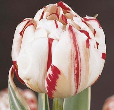 Тюльпан CARNAVAL DE NICE (Махровые поздние)
