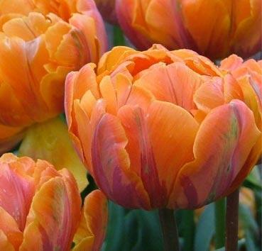 Тюльпан ORANGE PRINCESS (Махровые поздние)