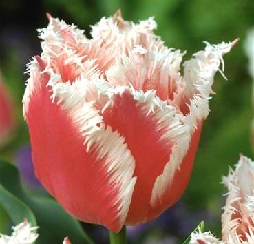 Тюльпан BELL SONG (Бахромчатые)