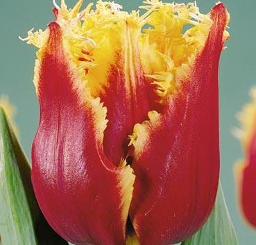 Тюльпан FABIO (Бахромчатые)