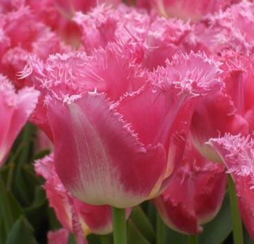 Тюльпан FANCY FRILLS (Бахромчатые)