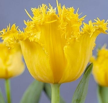 Тюльпан HAMILTON (Бахромчатые)