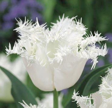 Тюльпан HONEYMOON (Бахромчатые)