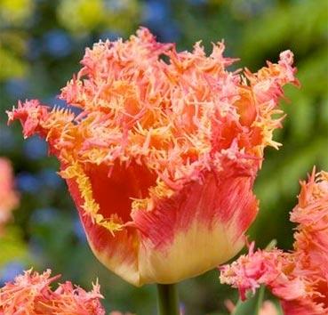 Тюльпан JOINT DIVISION (Бахромчатые)