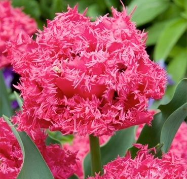 Тюльпан KINGSTON (Бахромчатые)