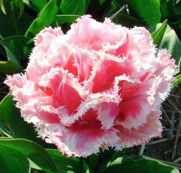 Тюльпан QUEENSLAND (Бахромчатые)