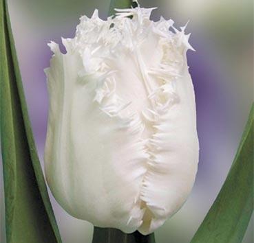 Тюльпан SMIRNOFF (Бахромчатые)