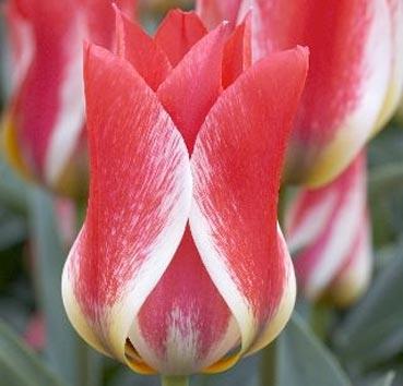 Тюльпан PLAISIR (Группа Грейга)