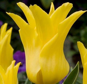 Тюльпан BALLADE GOLD (Лилиецветные)