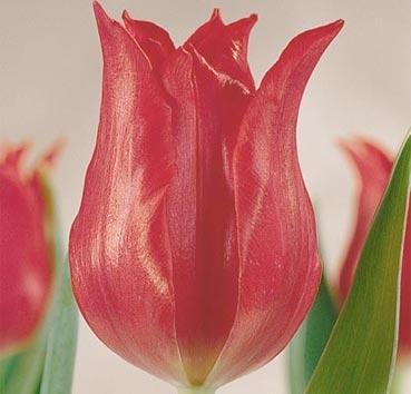 Тюльпан PRETTY WOMAN (Лилиецветные)