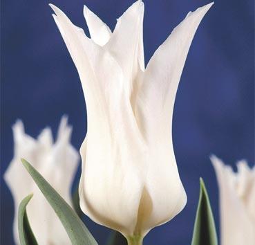 Тюльпан TRES CHIC (Лилиецветные)