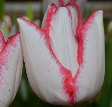 Тюльпан BEAUTY TREND (Триумф)