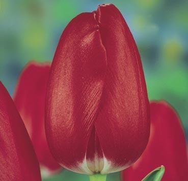 Тюльпан BEN VAN ZANTEN (Триумф)