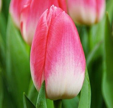 Тюльпан DYNASTY (Триумф)