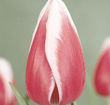 Тюльпан GUUS PAPENDRECHT (Триумф)