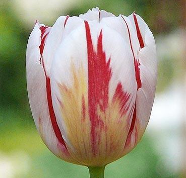 Тюльпан HAPPY GENERATION (Триумф)