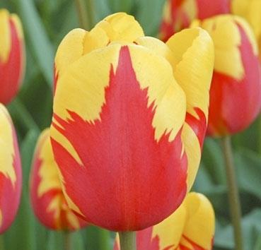 Тюльпан HOLLAND QUEEN (Триумф)