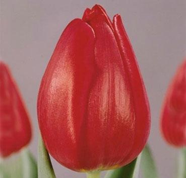 Тюльпан RED MARK (Триумф)